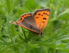 Small Copper (Ben Deed)