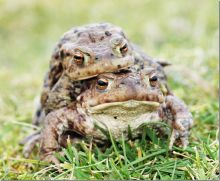 Common Toad (Dr Phil Smith)
