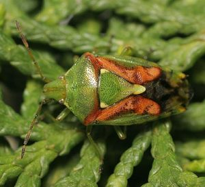 juniper-shieldbug-cyphostethus_tristriatus-adult-north-london-october-2008-tristan-bantock