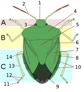 shieldbug-anatomy
