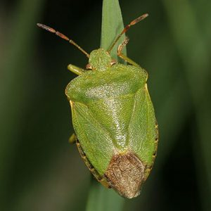 cropped-Palomena-prasina-Common-Green-Shieldbug-TB.jpg